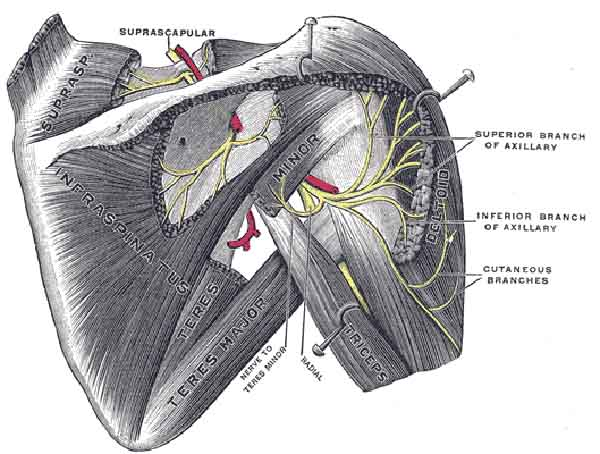 The Mysterious Rotator Cuff
