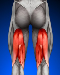 hamstring muscle illustration