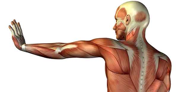 why do my arms shake in yoga- muscle anatomy image