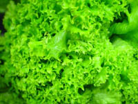 lettuce-leaves-green