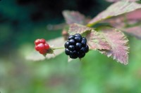 wild blackberry on bush